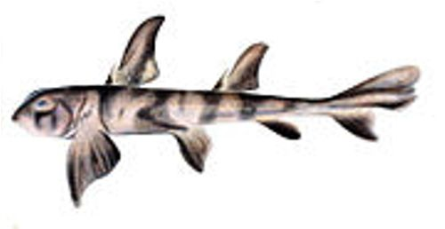 interesting facts about zebra bullhead sharks