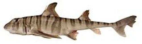 zebra bullhead sharks